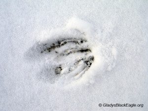 Whitetail deer track, can you see more than one track?
