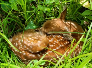 A just-born fawn in Marion County, IA.